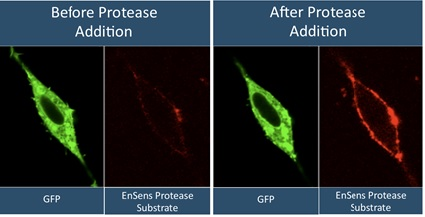 Protease activity cell-imaging