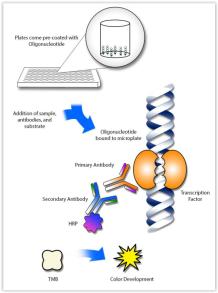 TFACT™ DNA-BINDING ELISA KITS » OCT2 TFACT™ DNA-BINDING ELISA