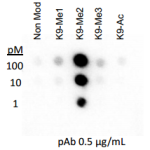 Rockland Anti-histone H3 [Dimethyl Lys9] Antibody specificity by Dot blot cat nr 600-401-I70