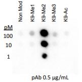 Rockland Anti-histone H3 [Dimethyl Lys9] Antibody specificity by Dot blot cat nr 600-401-I70