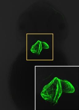 Zebrafish (Danio rerio) heart Genetex tebu-bio